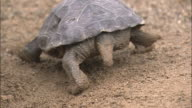 Crawling Turtle