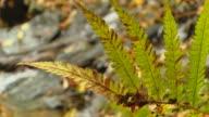 HD: Creek And Autumn Fern