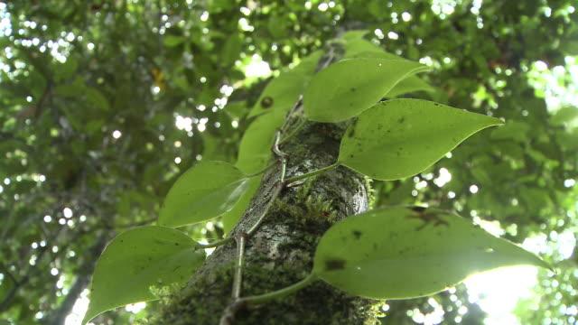Creeper on tree trunk, low angle view, Maliau Basin, Sabah, Borneo