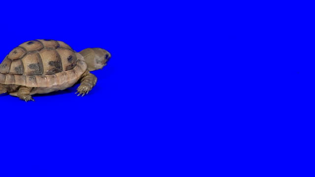 Creeping turtle on blue background