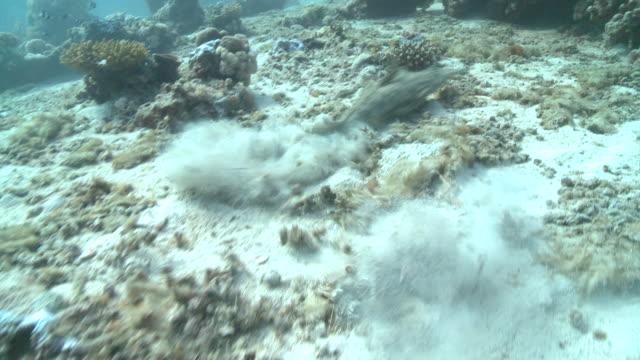 Crocodile fish (Cymbacephalus beauforti) on sea floor