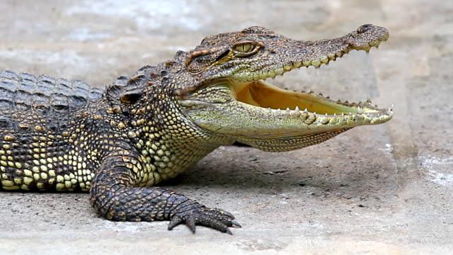 Crocodile: HD