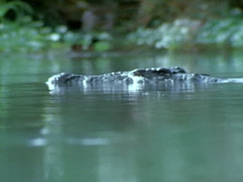 Crocodile head floating on water swimming slowly WS Crocodile head floating on water amp into reeds reeds BG also