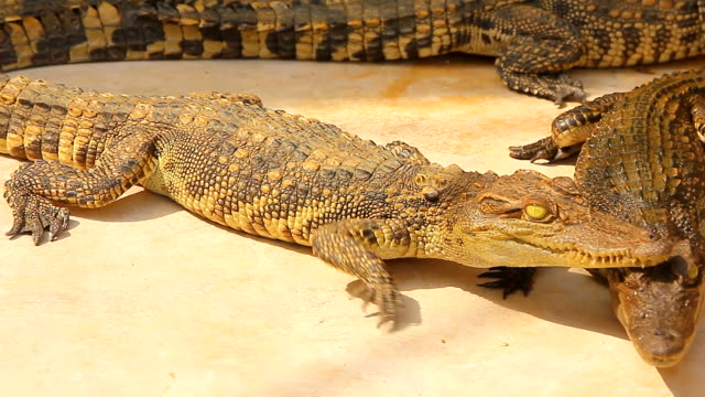 Krokodil i en gård