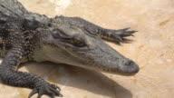 Crocodile in a farm
