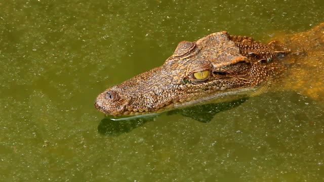 Krokodil i ett vatten