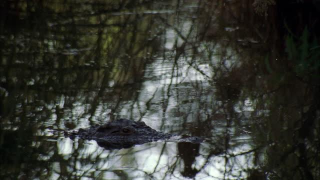 CU Crocodile in water / Unspecified