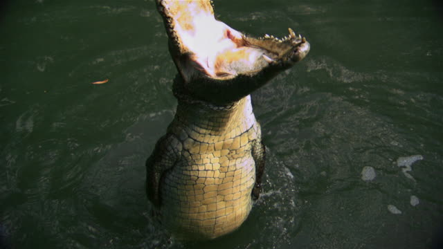 Crocodile jumping and opening mouth on water