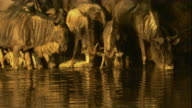 A crocodile lunges and grabs a wildebeest as the rest of the herd scatters. Available in HD.
