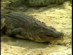 MS Crocodile lunging onto shore, grabbing and eating chicken
