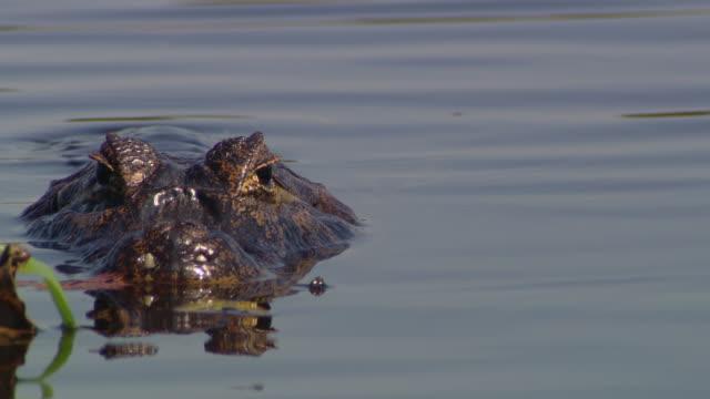 A crocodile lurks in a river.