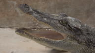 Crocodile open a mouth