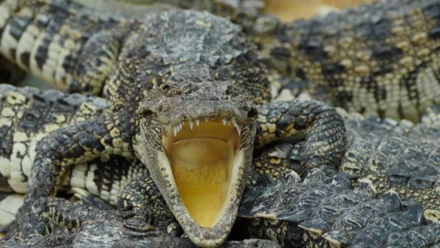 Krokodilen öppnade sin mun på gården.