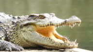 Crocodile opening a mouth