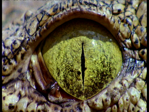 Crocodile opens and closes its emerald green eye, fly crawls over