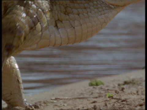 A crocodile saunters along a riverbank.