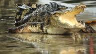 Krokodil Toon.