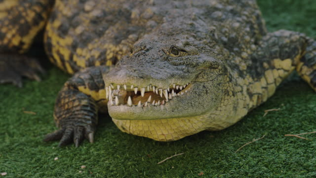 Crocodile sits on grass with open mouth; baring sharp teeth.