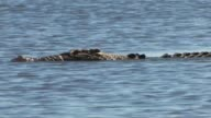 Crocodile submerging, Northern Territory, Australia