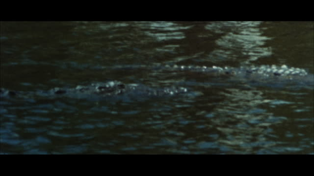 MS Crocodile swimming on top of water