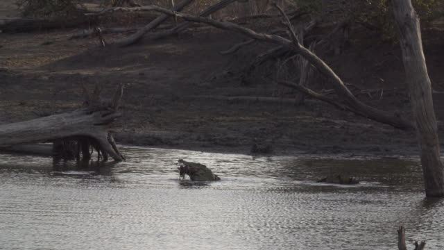Crocodile tosses meat around in mouth and chews it apart, Kruger National Park, South Africa