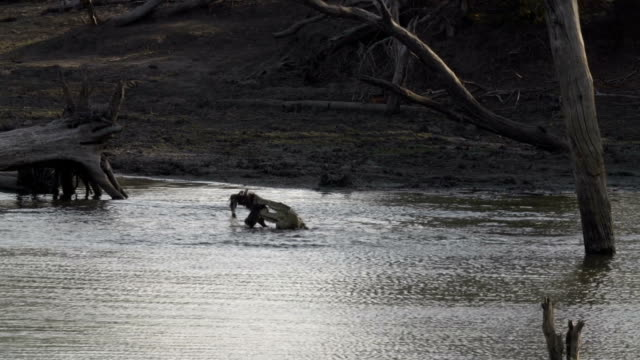 Crocodile violently thrashes pieces of meat against water to break it apart and eat, Kruger National Park, South Africa