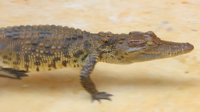 Krokodil går i en gård