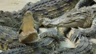 Krokodilleder Gähnen.