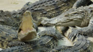 Crocodile Yawning.