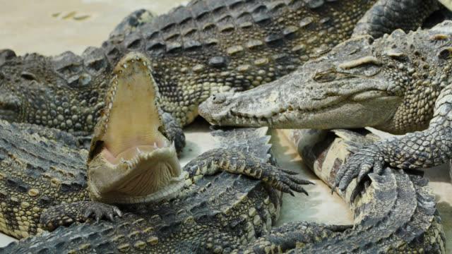 Krokodil geeuwen.