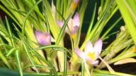 Crocus flower blooming