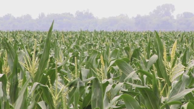 Cropduster over a Corn Field