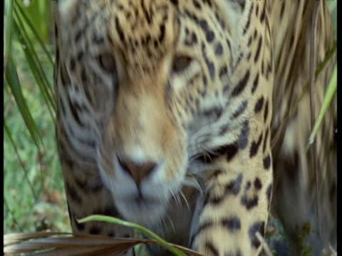 Crouching jaguar sprints towards camera, South America