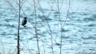 Crow at the river side HD