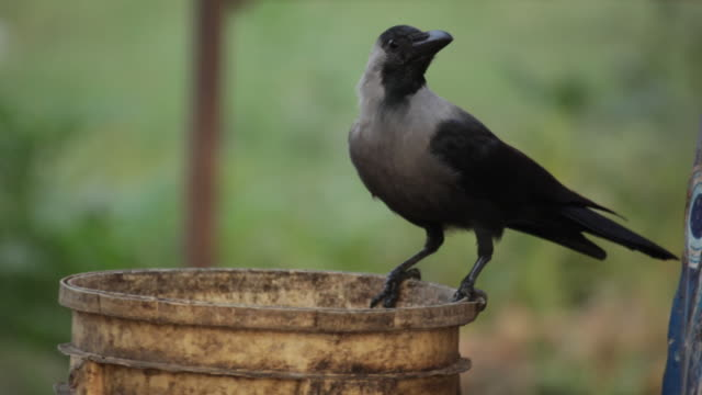 Crow drinking water