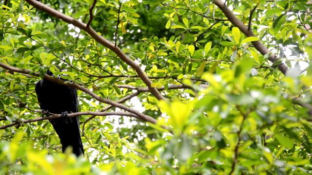 crow shy