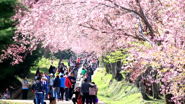 crowd and tourist enjoy in spring cherry blossoms