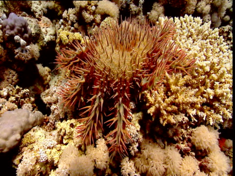Crown of Thorns starfish slowly crawls over coral reef, Red Sea