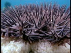 Crown of Thorns Starfish (Acanthaster planci) CU spiny arms & body, Great Barrier Reef