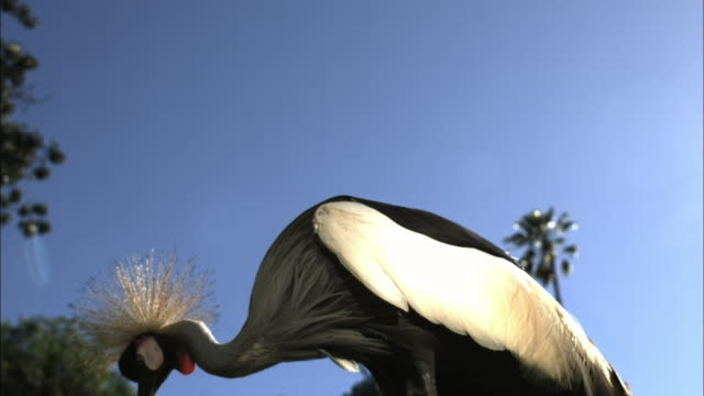 A crowned crane spreads its wings wide.