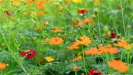 C.sulphureus Cav. or Sulfur Cosmos or Yellow and orange Cosmos flower is winding in the garden