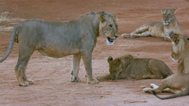 Cub Greets Lion On Track Samburu  Kenya  Africa