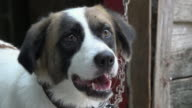 Cuba: Mutt or mongrel dog pet chained to wooden structure in house backyard. The animal has brown, black and white spots.