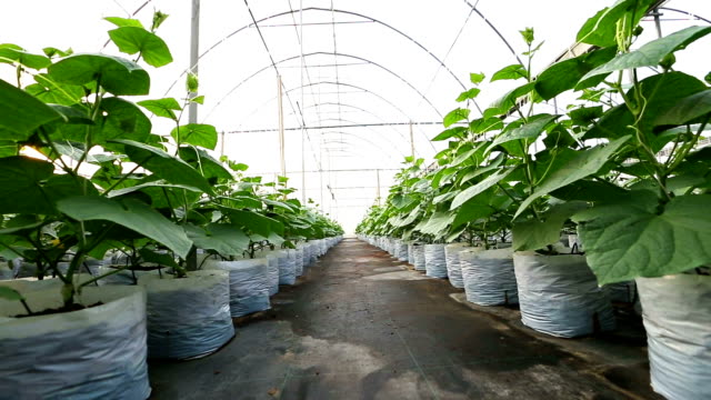 Cucumber plant cultivation on coco peat at greenhouse.