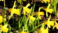 Cultivated daffodils
