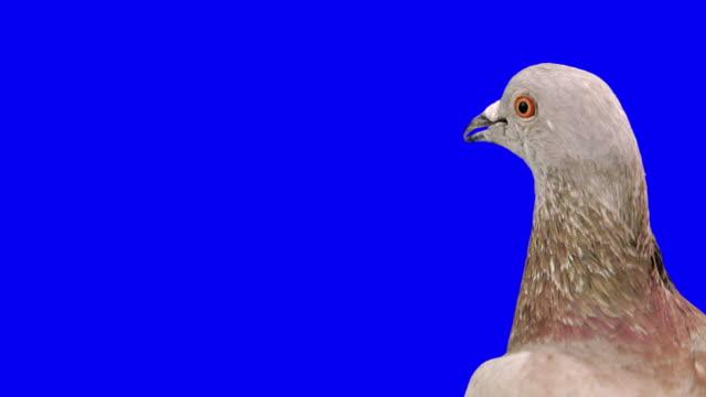 Curious pigeon looks around close up