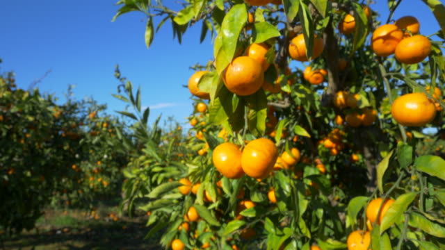 curved travel shot, sunlight on ripe mandarines in orchard against blue sky