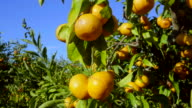 curved travel shot, sunlight on ripe mandarines in orchard againt blue sky