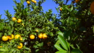 curved travel shot, sunlight on ripe oranges and leaves against blue sky
