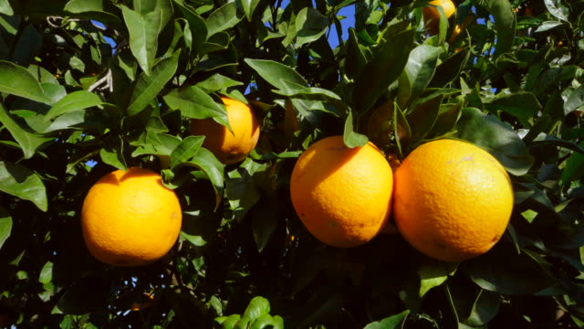 curved travel shot, sunlight on ripe oranges and leaves against clear blue sky